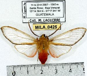 (Pseudohemihyalea sp. 1 - MILA 0425)  @14 [ ] Copyright (2010) Michel Laguerre Research Collection of Michel Laguerre