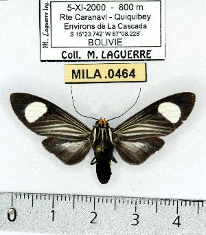 (Rhipha niveomaculata - MILA 0464)  @14 [ ] Copyright (2010) Michel Laguerre Research Collection of Michel Laguerre