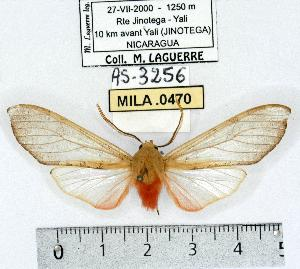 (Pseudohemihyalea testacea - MILA 0470)  @14 [ ] Copyright (2010) Michel Laguerre Research Collection of Michel Laguerre