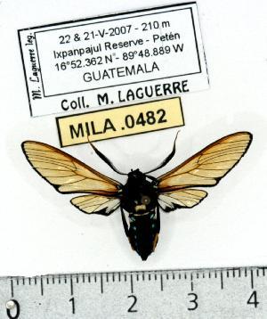(Sarosa azia - MILA 0482)  @14 [ ] Copyright (2010) Michel Laguerre Research Collection of Michel Laguerre