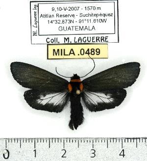 (Pygoctenucha enna - MILA 0489)  @14 [ ] Copyright (2010) Michel Laguerre Research Collection of Michel Laguerre