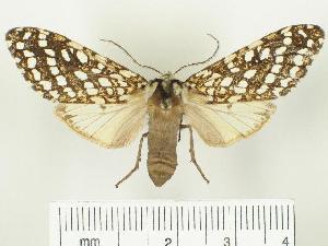 (Lophocampa albitegula - BEVI0549)  @14 [ ] Unspecified (default): All Rights Reserved  Unspecified Unspecified