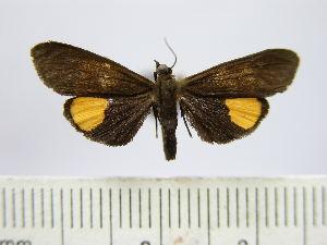 (Virbia subapicalis - BEVI0694)  @14 [ ] Copyright (2010) Benoit Vincent Research Collection of Benoit Vincent