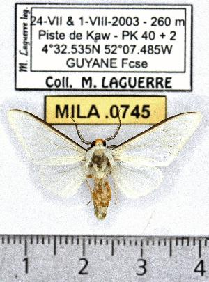 (Robinsonia prophaea - MILA 0745)  @14 [ ] Copyright (2010) Michel Laguerre Research Collection of Michel Laguerre