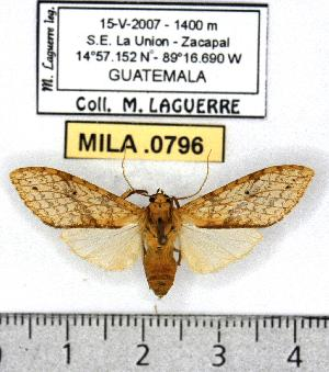 (Lophocampa sp. 2-ML8 - MILA 0796)  @12 [ ] Copyright (2010) Michel Laguerre Research Collection of Michel Laguerre