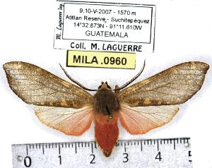 (Pseudohemihyalea mansueta - MILA 0960)  @15 [ ] Copyright (2010) Michel Laguerre Research Collection of Michel Laguerre