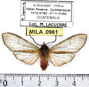 (Pseudohemihyalea rhoda - MILA 0961)  @14 [ ] Copyright (2010) Michel Laguerre Research Collection of Michel Laguerre