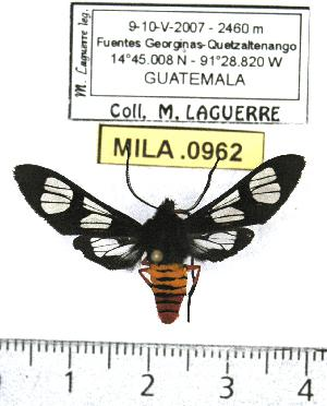 (Phoenicoprocta mexicana - MILA 0962)  @14 [ ] Copyright (2010) Michel Laguerre Research Collection of Michel Laguerre