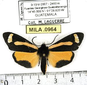 (Gnophaela cathetozosta - MILA 0964)  @14 [ ] Copyright (2010) Michel Laguerre Research Collection of Michel Laguerre