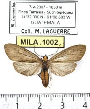 (Agaraea schausi - MILA 1002)  @14 [ ] Copyright (2010) Michel Laguerre Research Collection of Michel Laguerre