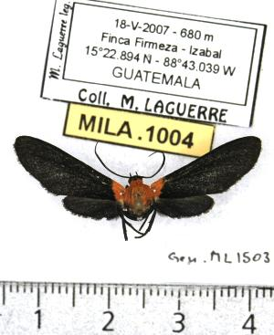 (Psoloptera basifulva - MILA 1004)  @13 [ ] Copyright (2010) Michel Laguerre Research Collection of Michel Laguerre