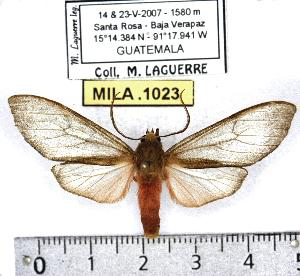 (Pseudohemihyalea variabilis - MILA 1023)  @13 [ ] Copyright (2010) Michel Laguerre Research Collection of Michel Laguerre