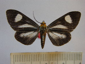 (Calodesma dioptis - BEVI1188)  @14 [ ] No Rights Reserved (2010) Benoit Vincent Research Collection of Benoit Vincent
