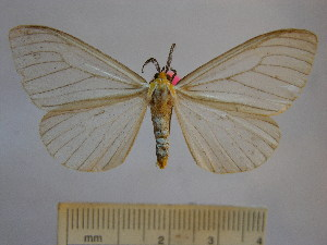 (Xenosoma flavicedes - BEVI1194)  @14 [ ] No Rights Reserved (2010) Benoit Vincent Research Collection of Benoit Vincent