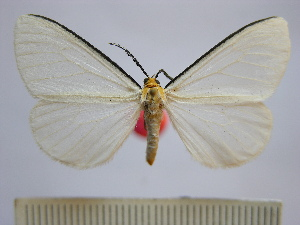 (Xenosoma flaviceps - BEVI1200)  @14 [ ] No Rights Reserved (2010) Benoit Vincent Research Collection of Benoit Vincent