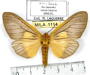 (Stenognatha - MILA 1114)  @15 [ ] Copyright (2010) Michel Laguerre The Research Collection of Michel Laguerre