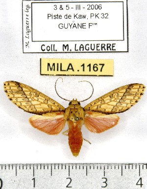 (Haemaphlebiella - MILA 1167)  @15 [ ] Copyright (2010) Michel Laguerre The Research Collection of Michel Laguerre