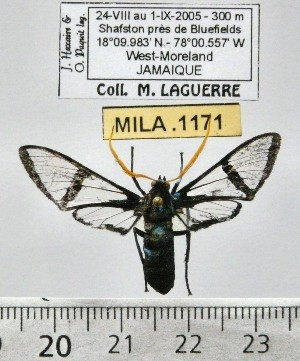 (Nyridela chalciope - MILA 1171)  @14 [ ] Copyright (2010) Michel Laguerre The Research Collection of Michel Laguerre
