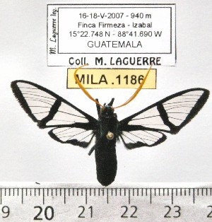 (Nyridela xanthocera - MILA 1186)  @13 [ ] Copyright (2010) Michel Laguerre The Research Collection of Michel Laguerre