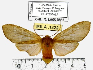 (Pseudohemihyalea sp. ML3 - MILA 1322)  @14 [ ] Copyright (2010) Michel Laguerre Research Collection of Michel Laguerre