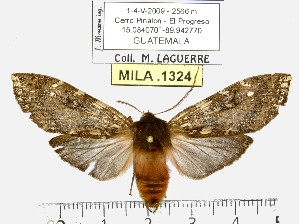 (Pseudohemihyalea sp. ML2 - MILA 1324)  @14 [ ] Copyright (2010) Michel Laguerre Research Collection of Michel Laguerre