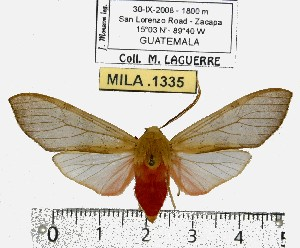 (Pseudohemihyalea sp. ML4 - MILA 1335)  @13 [ ] Copyright (2010) Michel Laguerre Research Collection of Michel Laguerre