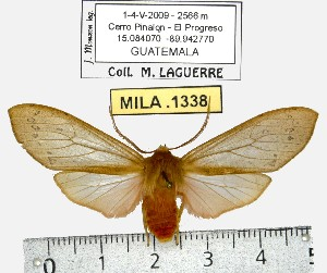 (Pseudohemihyalea sp. ML5 - MILA 1338)  @13 [ ] Copyright (2010) Michel Laguerre Research Collection of Michel Laguerre
