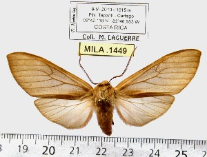 (Pseudohemihyalea sp. ML6 - MILA 1449)  @14 [ ] Copyright (2010) Michel Laguerre Research Collection of Michel Laguerre