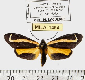 (Gnophaela baileyi - MILA 1454)  @13 [ ] Copyright (2010) Michel Laguerre Research Collection of Michel Laguerre