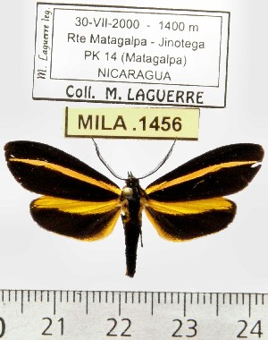 (Josiomorpha sp. ML3 - MILA 1456)  @13 [ ] Copyright (2010) Michel Laguerre Research Collection of Michel Laguerre