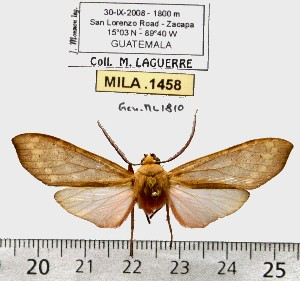 (Pseudohemihyalea sp. ML7 - MILA 1458)  @12 [ ] Copyright (2010) Michel Laguerre Research Collection of Michel Laguerre