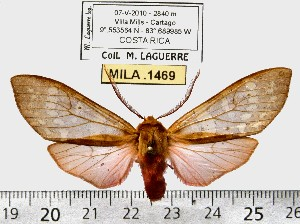 (Pseudohemihyalea olygocycla - MILA 1469)  @14 [ ] Copyright (2010) Michel Laguerre Research Collection of Michel Laguerre