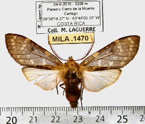 (Pseudohemihyalea sp. ML8 - MILA 1470)  @13 [ ] Copyright (2010) Michel Laguerre Research Collection of Michel Laguerre