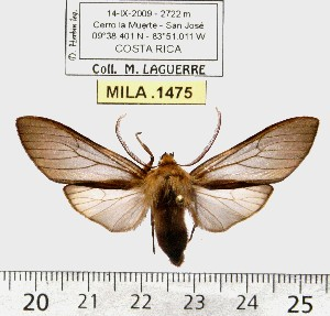 (Pseudohemihyalea niger - MILA 1475)  @13 [ ] Copyright (2010) Michel Laguerre Research Collection of Michel Laguerre