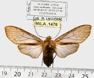 (Pseudohemihyalea sp. ML9 - MILA 1476)  @13 [ ] Copyright (2010) Michel Laguerre Research Collection of Michel Laguerre