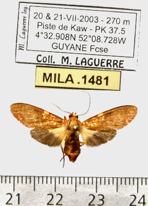 (Coiffaitarctia sp. ML1 - MILA 1481)  @12 [ ] Copyright (2010) Michel Laguerre Research Collection of Michel Laguerre