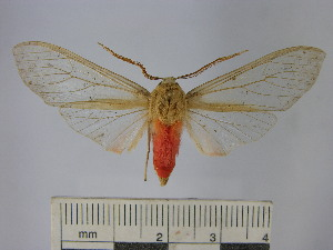 (Pseudohemihyalea sp. 5 - BEVI1686)  @14 [ ] No Rights Reserved (2012) Benoit Vincent Research Collection of Benoit Vincent