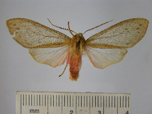 (Pseudohemihyalea porioni - BEVI1681)  @11 [ ] No Rights Reserved (2012) Benoit Vincent Research Collection of Benoit Vincent