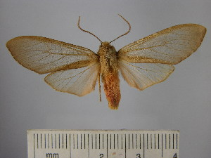 (Pseudohemihyalea fuscescens - BEVI1682)  @11 [ ] No Rights Reserved (2012) Benoit Vincent Research Collection of Benoit Vincent
