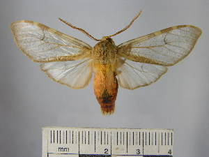 (Pseudohemihyalea sp. 3_BV - BEVI1684)  @14 [ ] No Rights Reserved (2012) Benoit Vincent Research Collection of Benoit Vincent