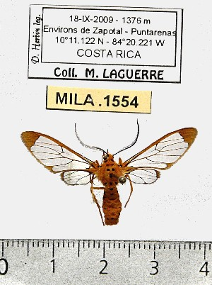 (Sphecosoma monticola - MILA 1554)  @14 [ ] Unspecified (default): All Rights Reserved  Unspecified Unspecified