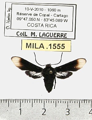 (Sphecosoma albomarginata - MILA 1555)  @13 [ ] Unspecified (default): All Rights Reserved  Unspecified Unspecified
