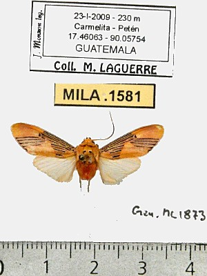 (Lepidokirbyia sp. 2-ML - MILA 1581)  @13 [ ] Unspecified (default): All Rights Reserved  Unspecified Unspecified