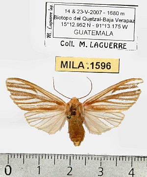 (Pseudohemihyalea sp. 4-ML - MILA 1596)  @12 [ ] Unspecified (default): All Rights Reserved  Unspecified Unspecified