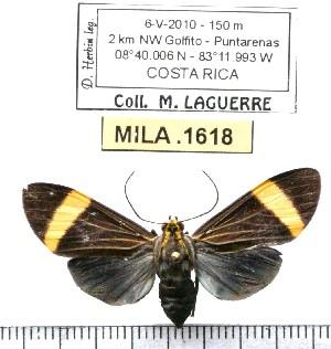 (Epidesma ursula - MILA 1618)  @14 [ ] Copyright (2012) Michel Laguerre Research Collection of Michel Laguerre