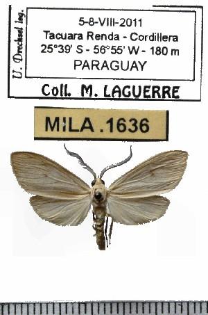 (Biturix sp-1ML - MILA 1636)  @12 [ ] Copyright (2012) Michel Laguerre Research Collection of Michel Laguerre