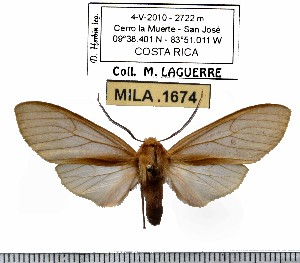 (Pseudohemihyalea sp-3ML - MILA 1674)  @13 [ ] Copyright (2012) Michel Laguerre Research Collection of Michel Laguerre