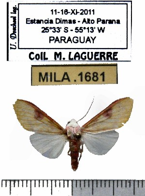 (Hypidalia enervis - MILA 1681)  @13 [ ] Copyright (2012) Michel Laguerre Research Collection of Michel Laguerre