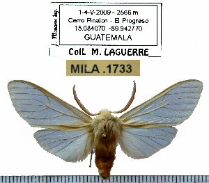 (Pseudohemihyalea vitripennis - MILA 1733)  @14 [ ] Copyright (2012) Michel Laguerre Research Collection of Michel Laguerre