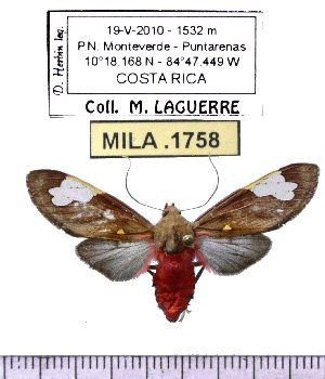(Bertholdia philotera - MILA 1758)  @14 [ ] Copyright (2012) Michel Laguerre Research Collection of Michel Laguerre